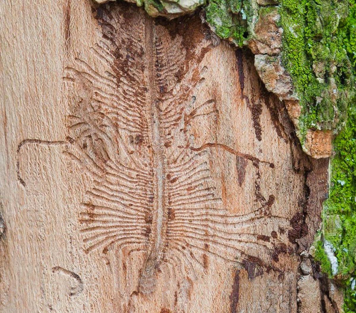 Tomicus del pino / Barrenador del olmo